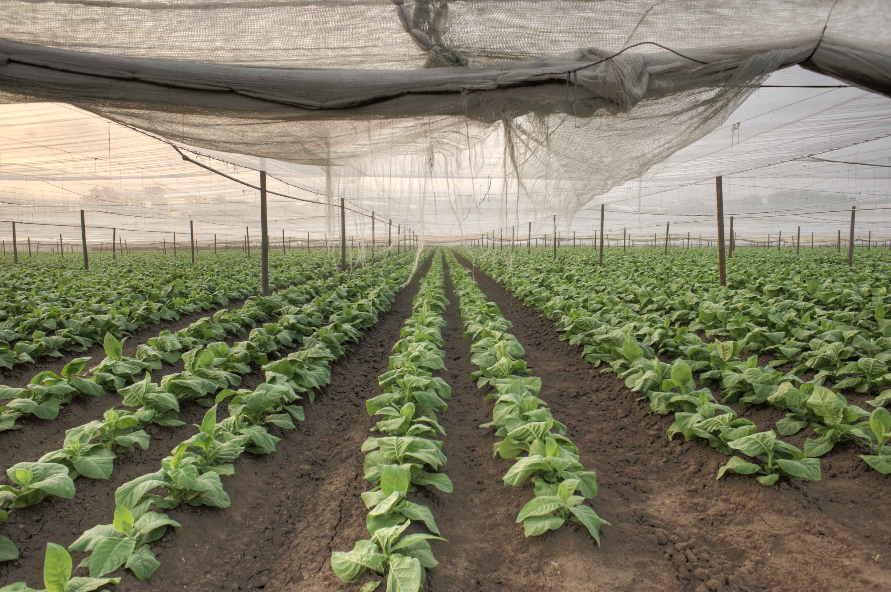 ROWS OF TOBACCO